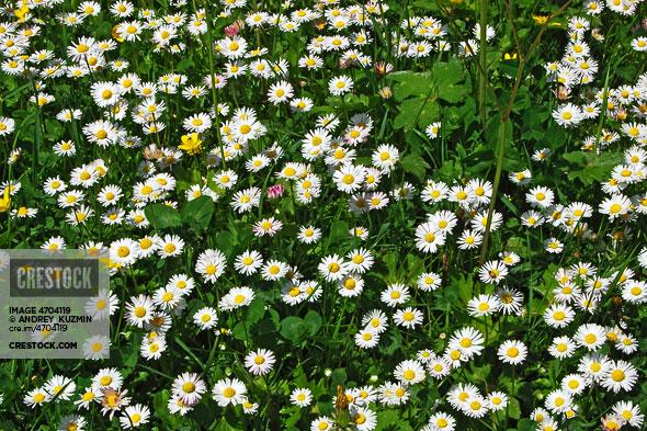 Daisy and clover field wallpaper